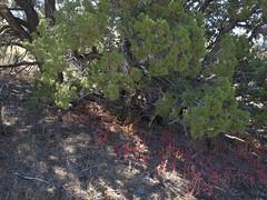bigseed goosefoot, Chenopodium simplex