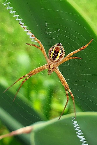 You very very beautiful St Andrews Cross spider