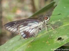 Unkana ambasa attina (Hoary Palmer) male
