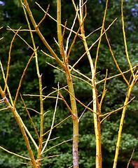 """Cincinnati - Spring Grove Cemetery & Arboretum """"Yellow Branches"""""""