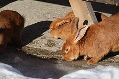 Sniffing ice @ Rabbits @ Gîte Notre-Dame des Neiges @ Plateau des Glières