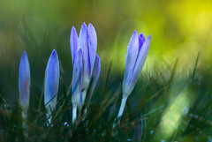 Crocus in the morning