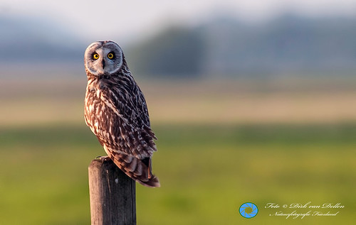Short-eared Owl at Reidfjild near Roodkerk(FR) Netherlands - 9th of june 2014.