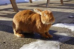 Rabbit @ Gîte Notre-Dame des Neiges @ Plateau des Glières