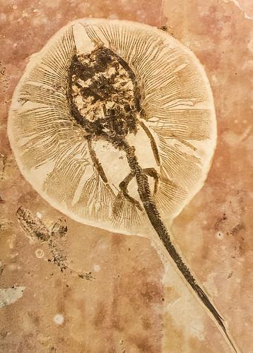 Whiptail Stingray