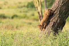 Lion Cub Climbing Down Into the Tall Grass