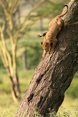 Lion Cub Climbing Down Tree