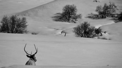 Elk. Snow.