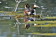 Grèbe huppé : ponte et éclosion / great crested grebe : egg-laying and hatching