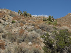 western Joshua tree, Yucca brevifolia