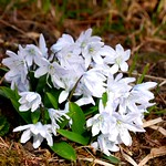 Persischer Blaustern / Persian white squill