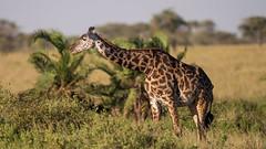 Giraffe (Giraffa) Serengeti, Tanzania.