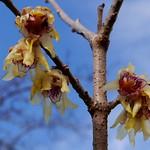 Chinesische Winterblüte / Chimonanthus praecox