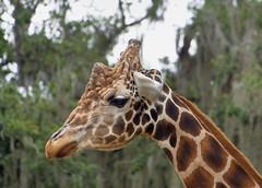 (not) Animatronic Giraffe