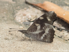 Libythea narina rohini (White-spot Beak)