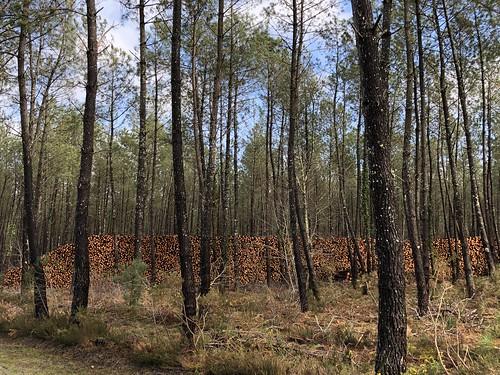 Dans la forêt des Landes / Im Kiefernwald der Landes / В лесу Ландов