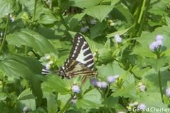 Graphium nomius swinhoei (Spot Swordtail)