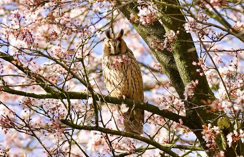 Ransuil (Long-eared Owl)