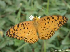 Phalanta phalantha phalantha (Common Leopard)