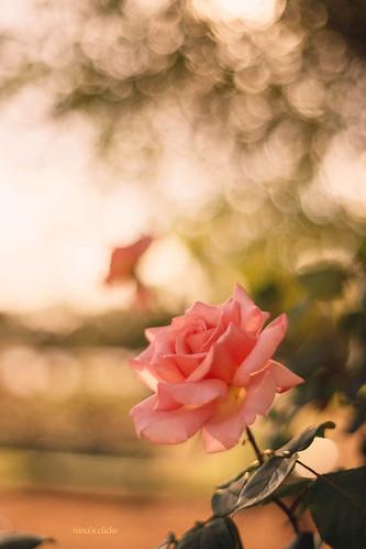 Golden pink rose