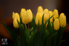 tulips by apo sonnar