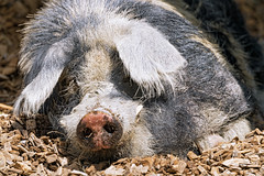 Cute big pig on  the wooden pellets