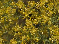 matchweed, Gutierrezia microcephala