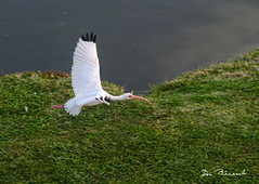 Ibis - cleared for takeoff - Bradenton River Club