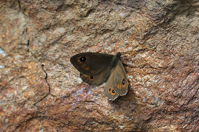 Photo:IMG_5203 By helicodiscus