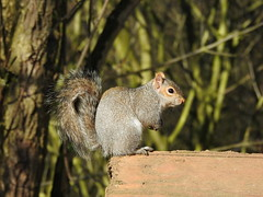 Grey Squirrel DSCN5865