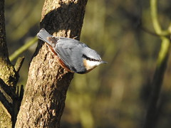 Nuthatch DSCN5875