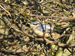 Nuthatch DSCN5866