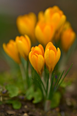 Orange Crocuses