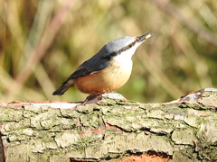 Nuthatch DSCN6010