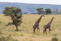 Two Male Giraffes Walking