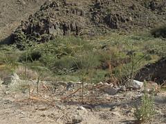skeleton buckwheat, Eriogonum deflexum var. deflexum