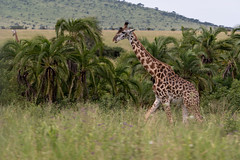 Giraffe by Palm Trees