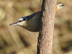 Nuthatch DSCN6023
