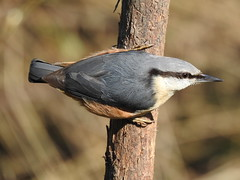 Nuthatch DSCN6030