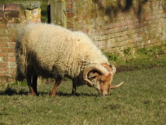 Portland sheep DSCN5961