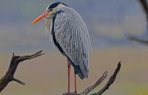 Grey Heron (Ardea cinerea) DSC_9768