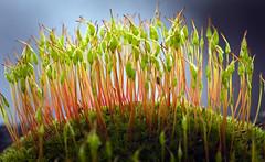 Redshank moss forest