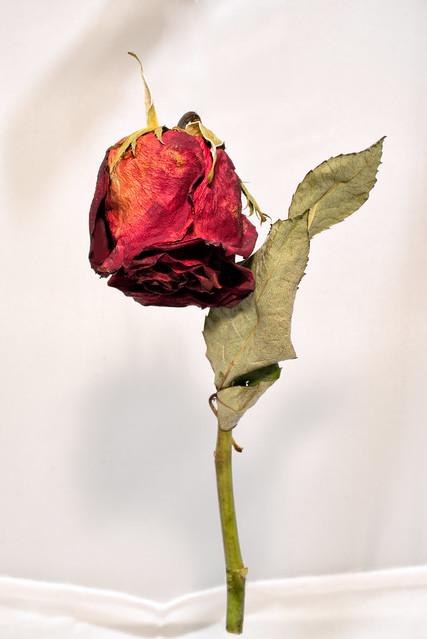 standing rose