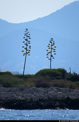 20170715_04 Tall plants & blue mountains seen from Billionaire Bay, Antibes, France