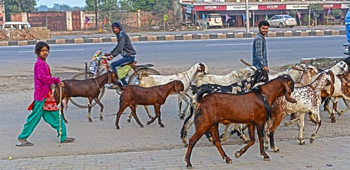 Goat Herders India DSC_0382