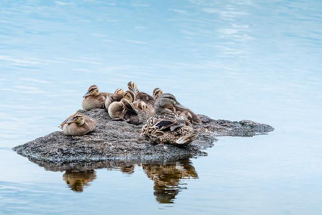 Famille colvert sur îlot