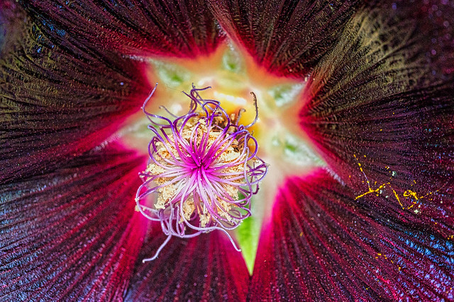 Astéroïde fleural