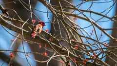 Male Cardinal Chilling Out in My Maple Tree