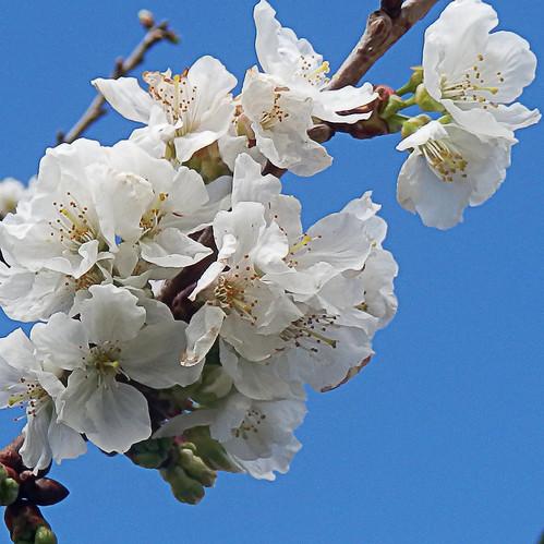 Las flores de mi único cerezo - The flowers of my only cherry