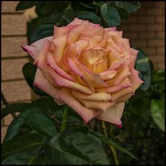 Rose Rose I love you-1=